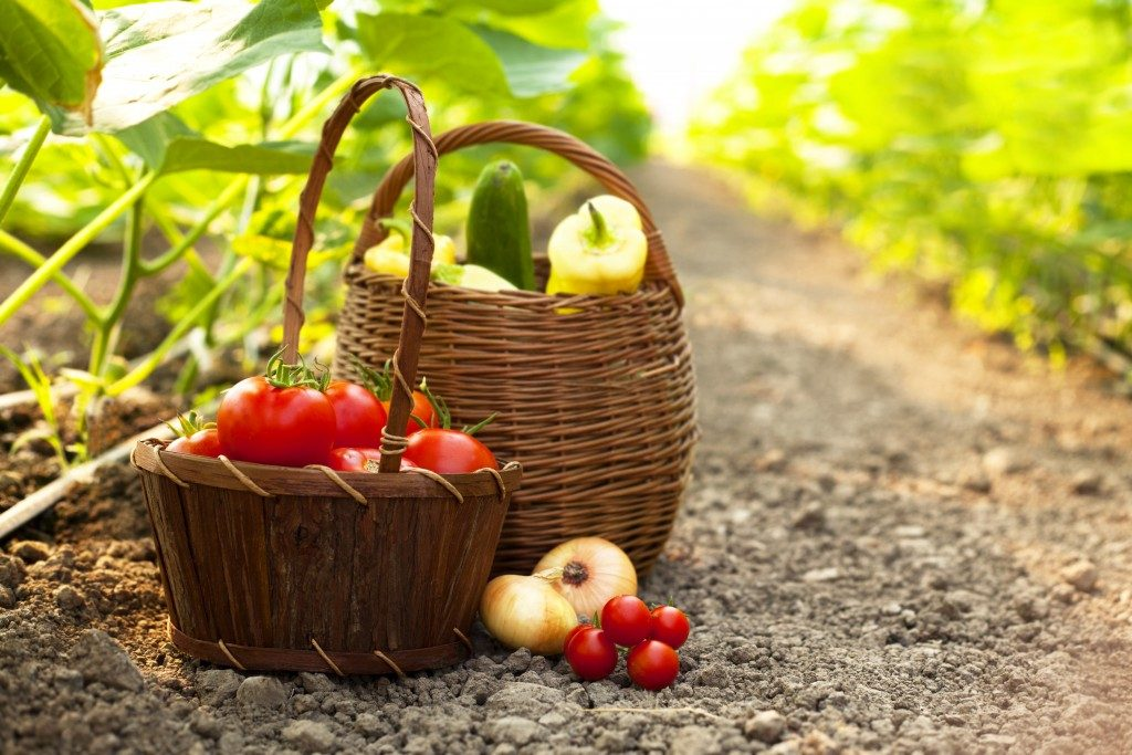 two baskets full of fruits and vegetables freshly picked from an orchard